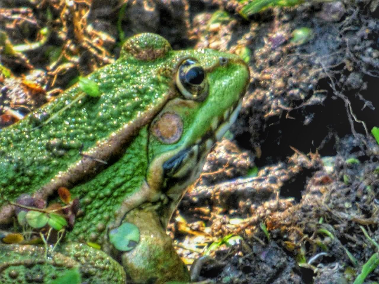 animal themes, one animal, animals in the wild, green color, no people, nature, reptile, high angle view, day, animal wildlife, close-up, outdoors, leaf, camouflage