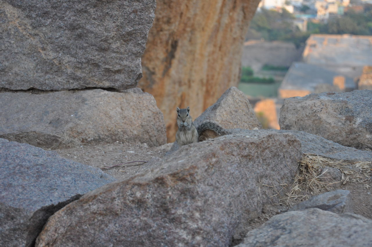 golconda fort Animal Animal Themes Animal Wildlife Animals In The Wild Chipmunk Chipmunk Close-up Chipmunk Eating Chipmunk Photography Chipmunkface Day Golconda_fort India Indian Culture  Nature Nice No People One Animal Outdoors Rock - Object Sweet Tail