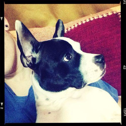 Pet Dog Brava Pitbull First Eyeem Photo