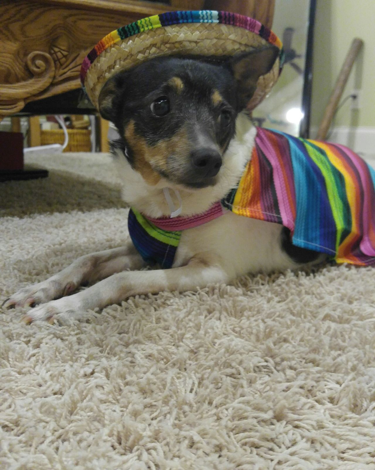 Looking At Camera One Animal Pets Mammal Domestic Animals Animal Themes Portrait Indoors  Dog No People Close-up Day Cinco De Mayo Mexican Rat Terrier