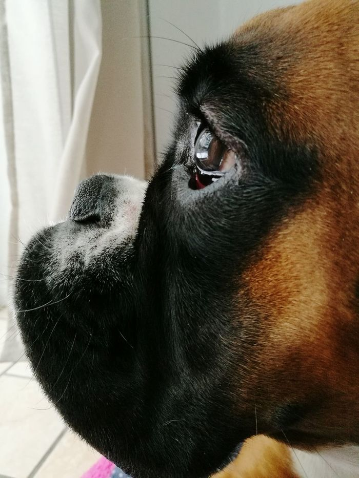 One Animal Pets Animal Themes Domestic Animals Dog Close-up Indoors  Animal Head  No People Animal Body Part Puppy Dogs Eye Silhuette Boxer HEAD Detail GrowingUp Chien Boxer Dog Cute Dog  Lookingoutside