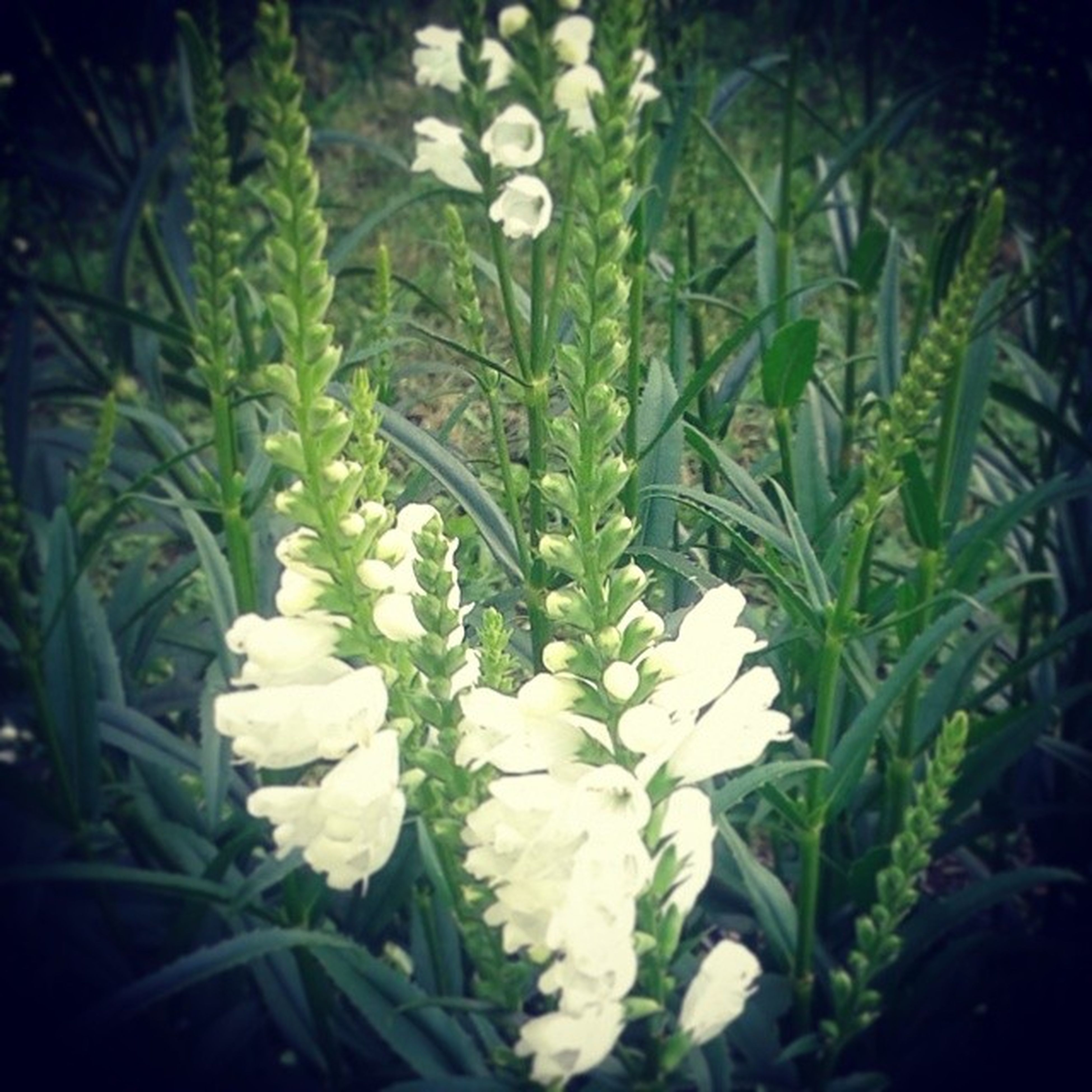flower, growth, white color, freshness, fragility, plant, petal, beauty in nature, flower head, nature, blooming, leaf, close-up, green color, in bloom, white, stem, botany, field, blossom