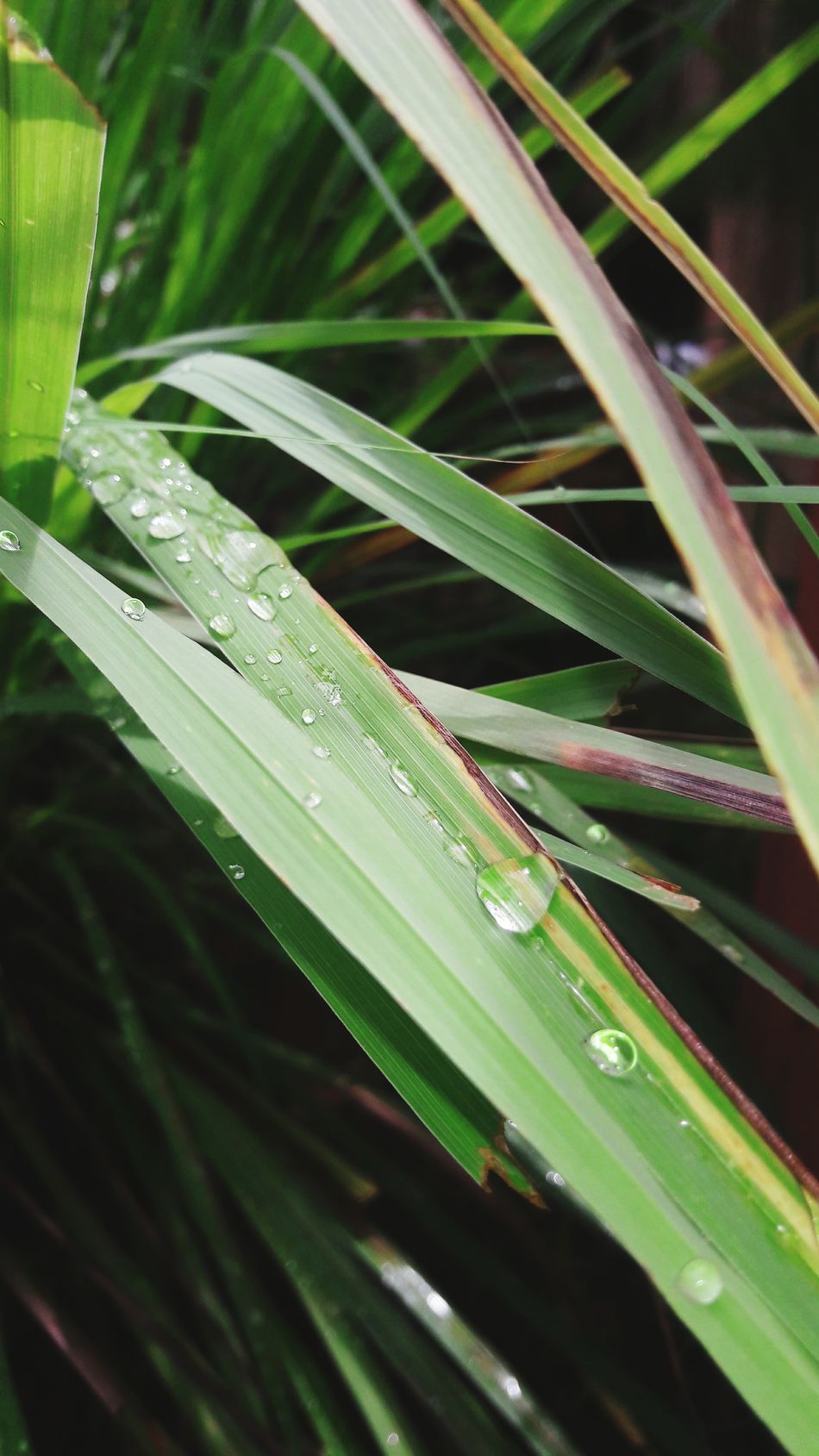 Purity. Drop Leaf Nature Wet Plant Close-up Growth Dew Rain Purity Freshness EyeEm Best Shots EyeEmNewHere Clean Water Rain Drops On Leaves