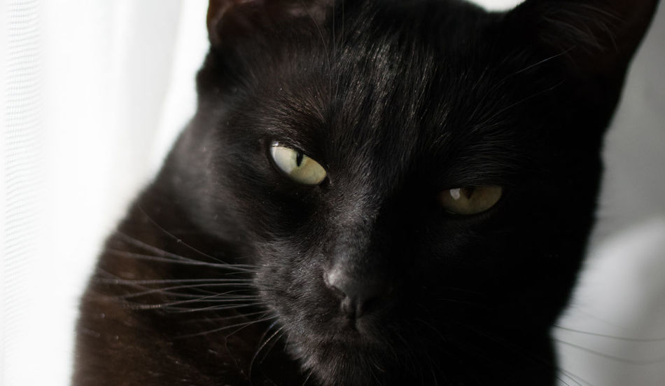 Animal Themes Black Color Cats Of EyeEm Close-up Domestic Animals Domestic Cat Feline Nikon D3300 One Animal Pets Whisker Yellow Eyes