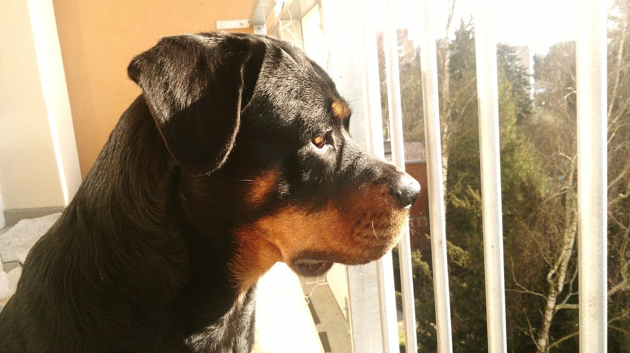 Home Is Where The Art Is Princess ♥ EyeEm Best Shots In Zlín EyeEmBestPics Dogs Of EyeEm Dogoftheday Dog❤ { My Lovely RottWeiler } Morning Light RottweilerLovers Check This Out Hello World Rottweilerlove