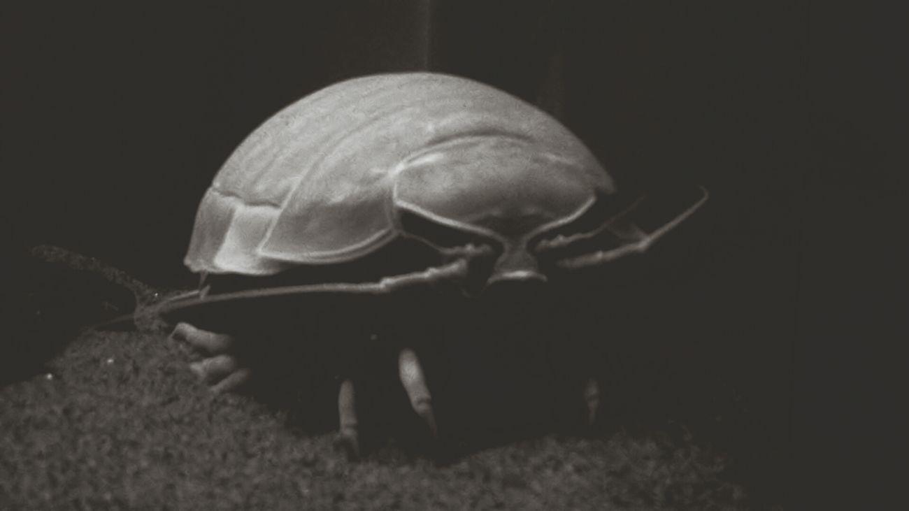 Aquarium Giant Lsopod ダイオウグソクムシ BlackandwhiteAudi face! :D