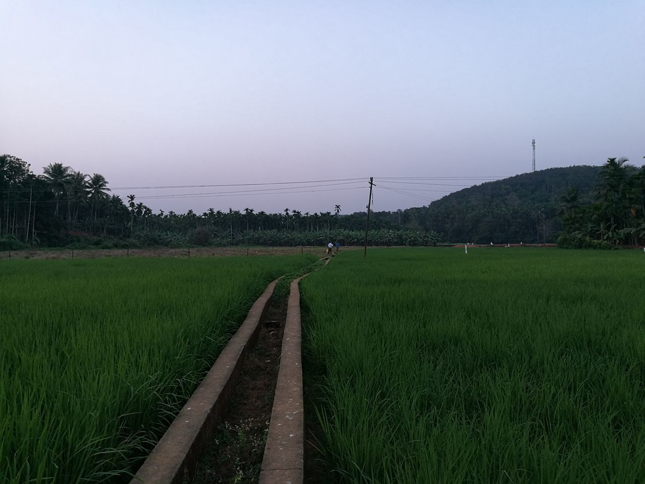 field, growth, grass, agriculture, tranquil scene, nature, clear sky, green color, landscape, beauty in nature, outdoors, rural scene, sky, no people, scenics, tranquility, day, animal themes, tree, rice paddy