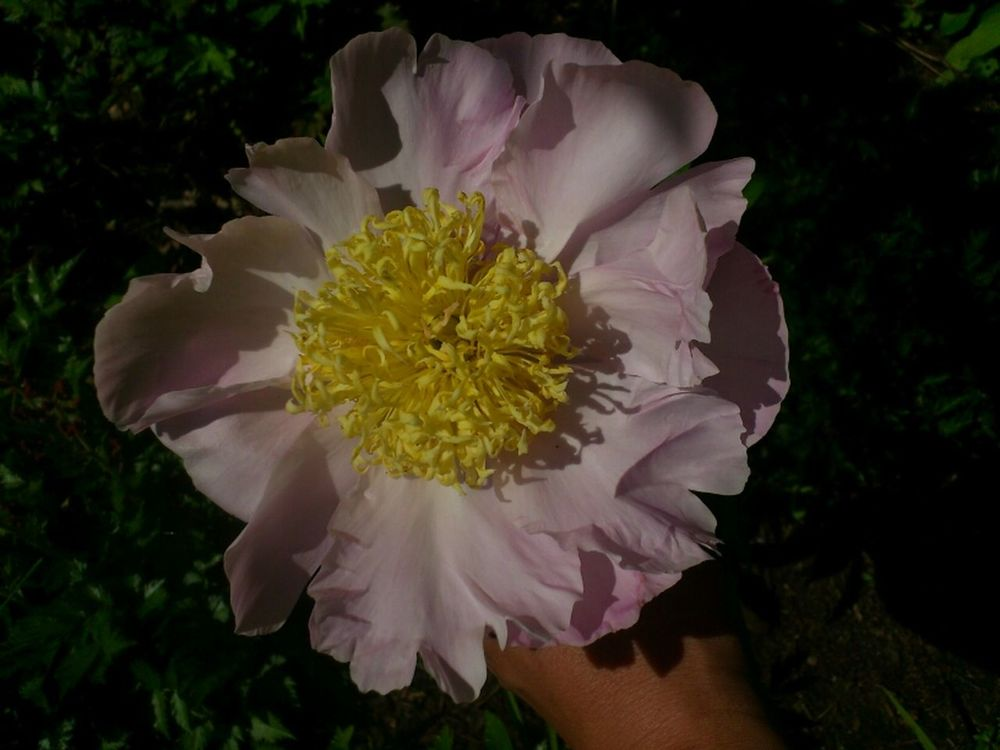 Paeonia at Сад Дракона by Night Mouse