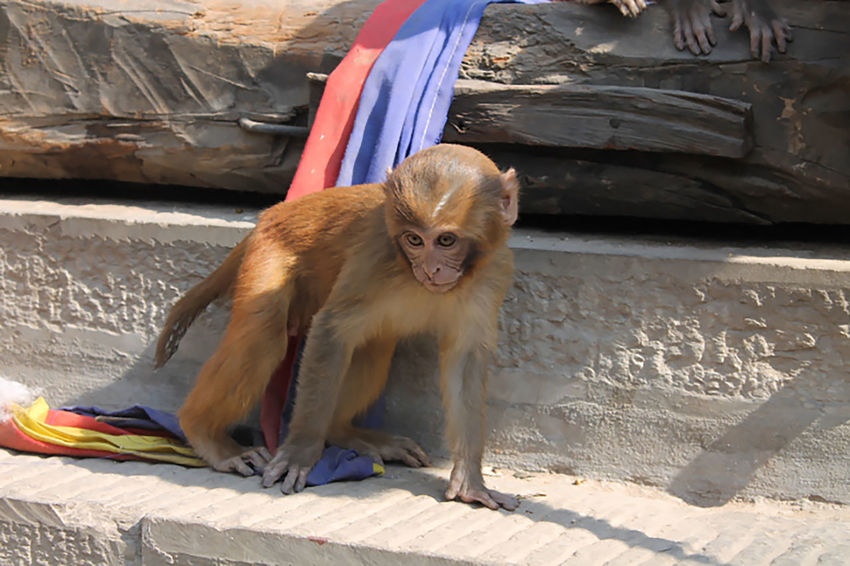 My resolution for the new year is to be more thoughtful. Khatmandu Monkey Temple My Resolution For The New Year Is To Be More Thoughtful Nepal Baby Monkey Rhesus Macaque