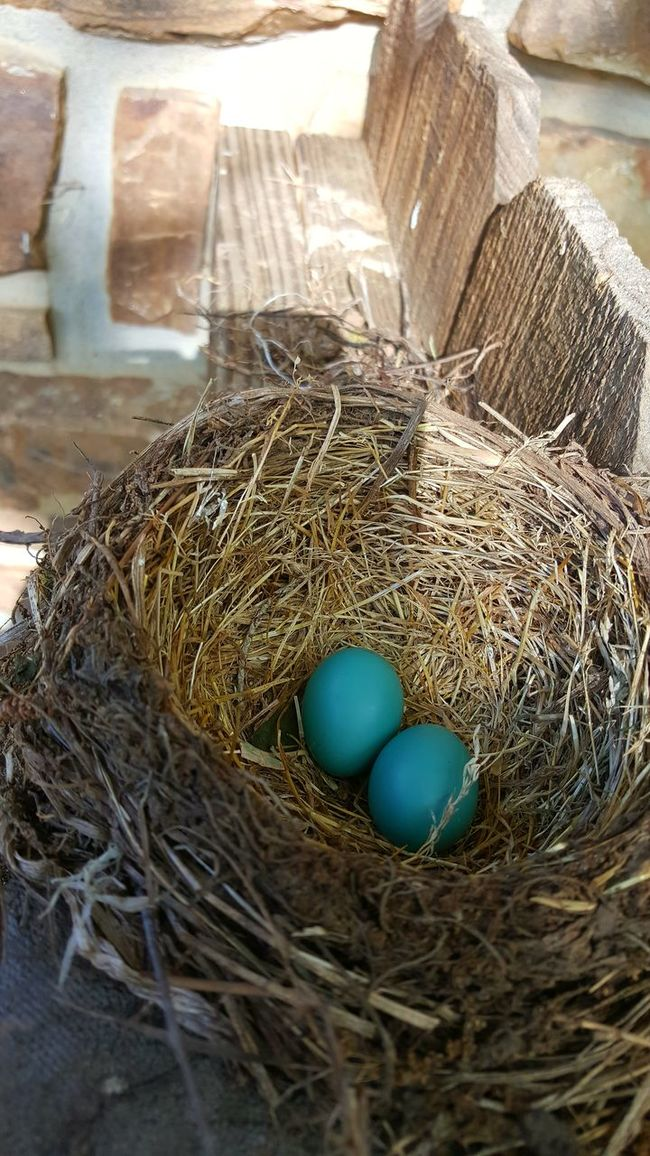 Birds Egg Birds Eggs Robins Eggs Robin Eggs Robin Egg Blue Color Robin Egg Blue Taking Photos Check This Out Photography #photo #photos #pic #pics #tagsforlikes #picture #pictures #snapshot #art #beautiful #instagood #picoftheday #photooftheday #color #all_shots #exposure #composition #focus Capture Moment [ First Eyeem Photo EyeEm Best Shots Eyeemphotography Phonephotography Getty Images Eyeemphotography Getty+EyeEm Collection EpicShotPhotography EyeEm Gallery Getty X EyeEm Images Epic Shot Photography Epic Pics Photography Getty & Eyeem Birdeggs Bird Eggs