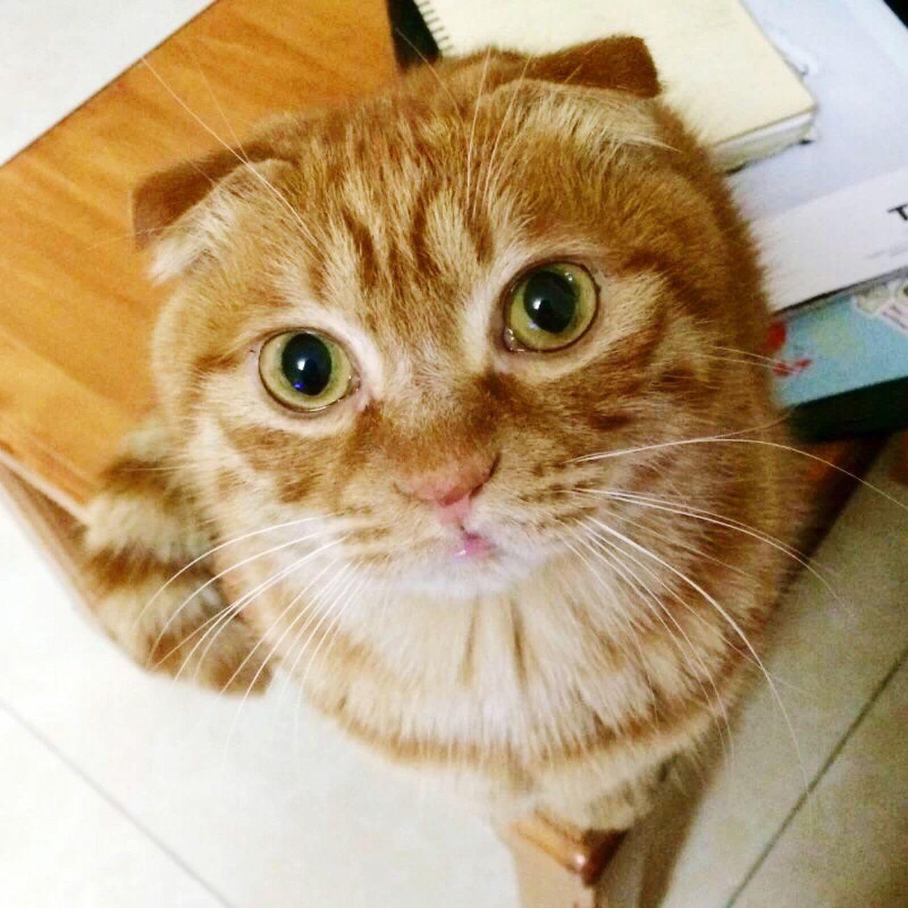 Cat Catlover Ilovecat Pets Furball Fluffy Selfie ✌ Gingercat Eyes hi I'm Macchiato..