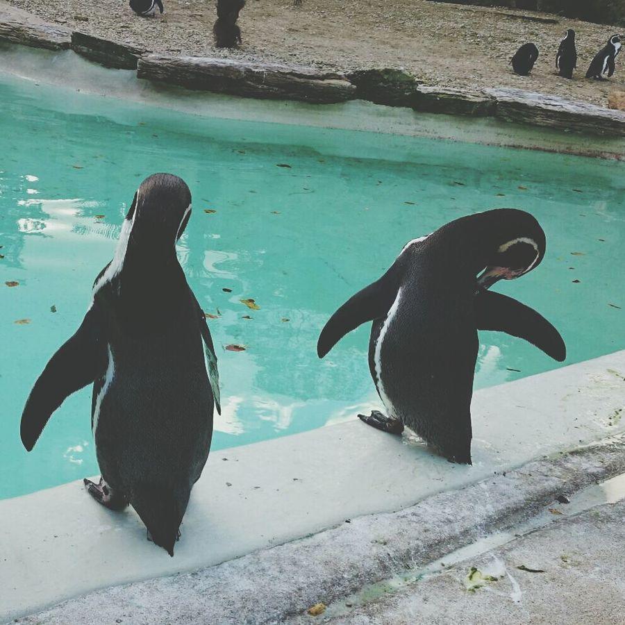 Animals Swimming penguin