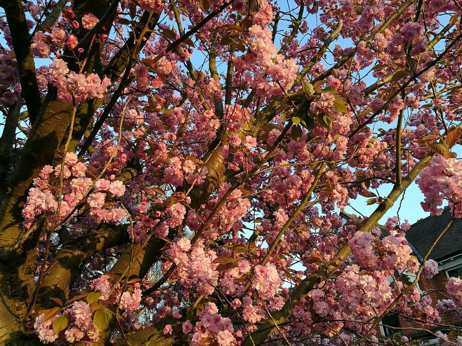 Evening Glow Evening Blossoms Early Evening Light Springtime P9 Huawei Spring Street Tree Photography Tree Low Angle View Nature Branch Beauty In Nature Outdoors Blossom Full Frame Sky Close-up Blossoming Tree Evening Light Evening Sun Pink Pink Blossoms Pink Blossom Tree Pink Blooms Blue Sky Evening