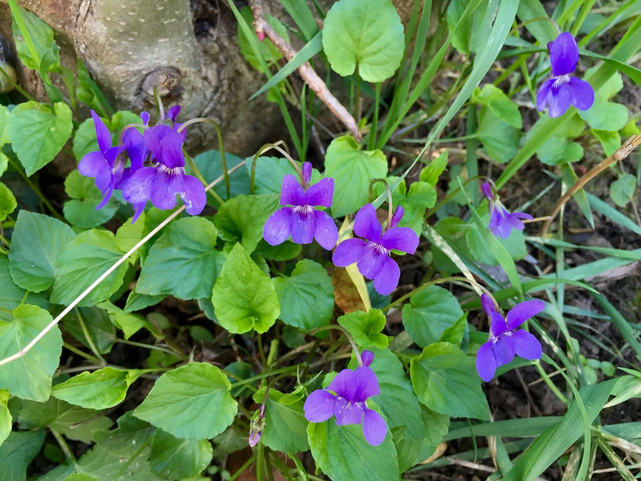 growth, flower, leaf, plant, fragility, nature, beauty in nature, freshness, outdoors, petal, high angle view, green color, blooming, purple, no people, day, flower head, close-up, petunia, periwinkle