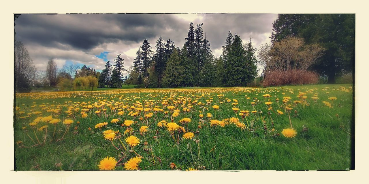 flower, growth, nature, beauty in nature, field, tree, tranquility, yellow, scenics, sky, plant, landscape, tranquil scene, freshness, outdoors, day, no people, cloud - sky, fragility, grass, blooming, flower head, close-up