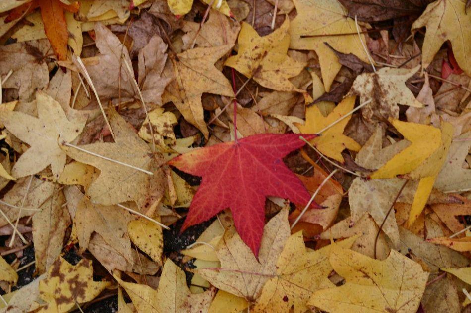 Foglieautunnali Foglie Leaf Autumn Nature Leaves Outdoors Fallen Nature All'aperto Decorations Decorazione Tappeto Carpet Leavescarpet Rossogiallo Redyellow
