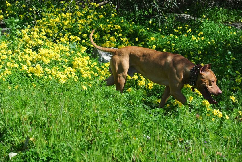 Moutain spring with my dog . Animal Themes Grass One Animal Mammal Domestic Animals Dog Pets Growth Green Color Field Nature Sunlight No People Outdoors Standing Flower Beauty In Nature Day Weimaraner