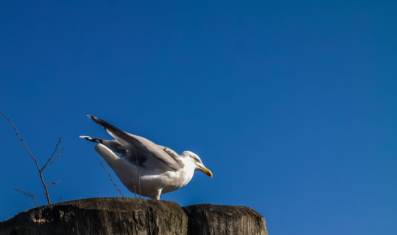 Low Angle View Of Seagull Perching On Wooden Post Against Clear Blue Sky