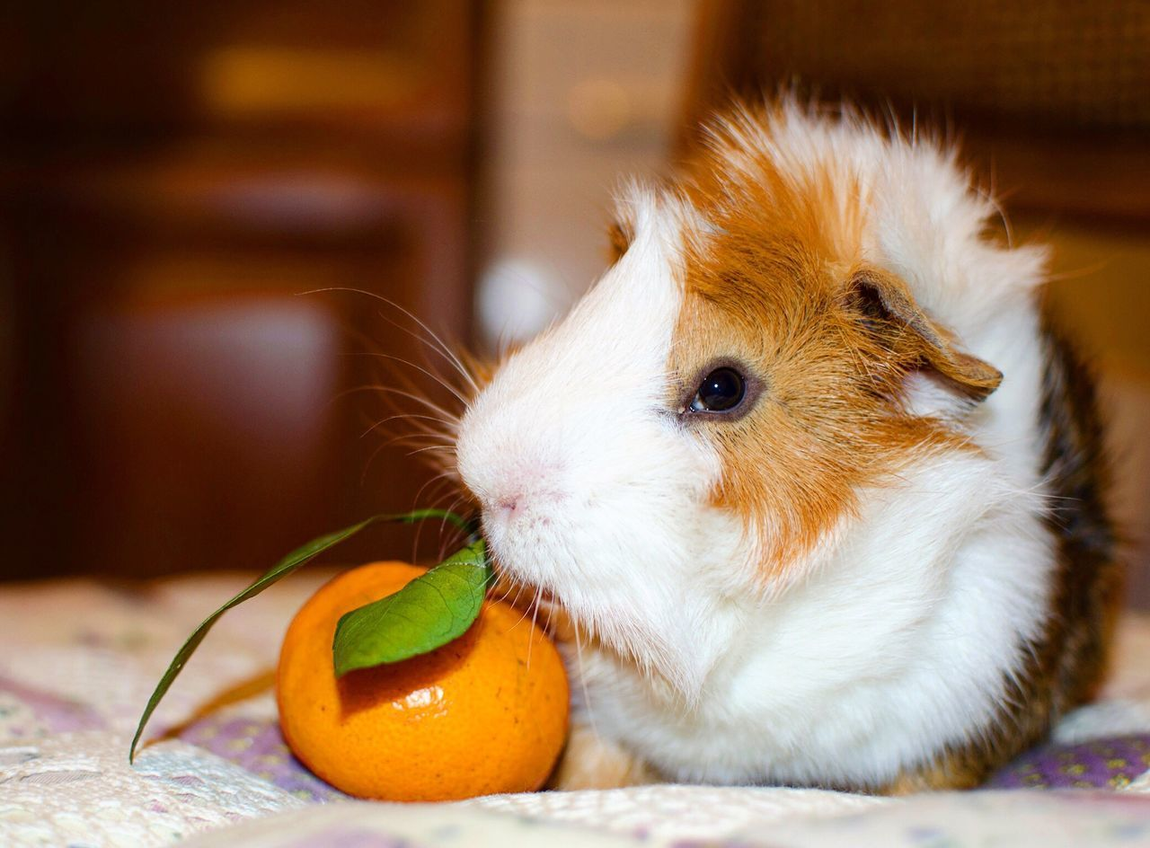 Beautiful stock photos of guinea-pigs,  Animal Themes,  Close-Up,  Cute,  Day