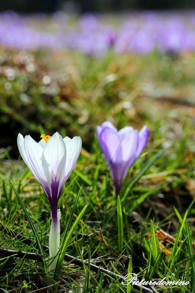 Spring Flowers Spring Flowers Good Feeling Violet Krokus