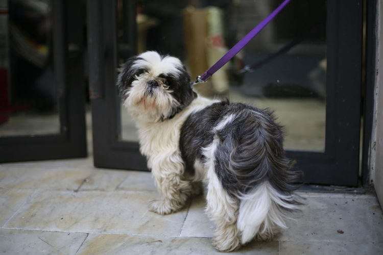 Animal Themes Attached To A Doo Close-up Day Dog Domestic Animals In Front Of The Shop Infront Mammal No People One Animal Outdoors Pets Shih Tzu Waiting