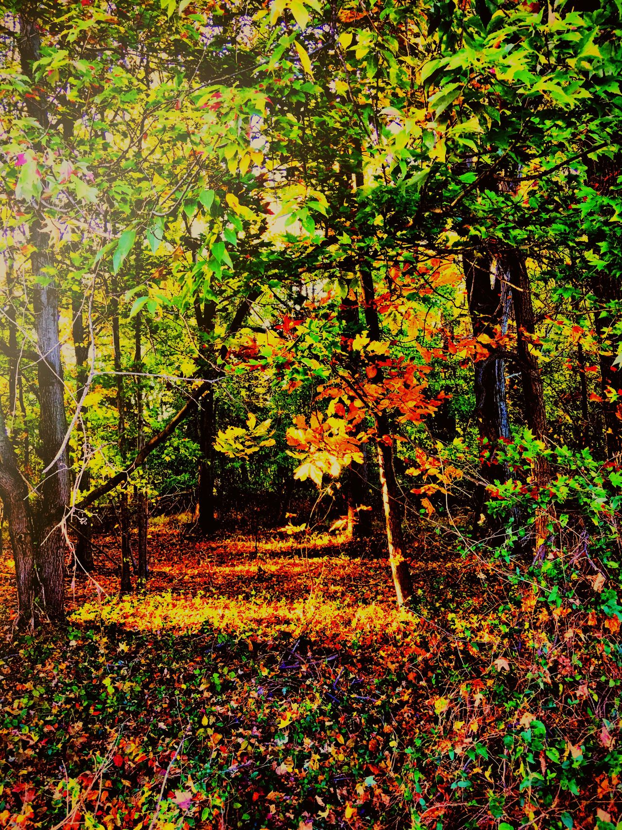 Walking in the woods Tree Nature Beauty In Nature Growth Autumn Outdoors Tranquility Forest Leaf Tranquil Scene Scenics Branch Day Tranquility Iphonephotography Fallfoliage Fall Beauty Colorphotography Camerafilters