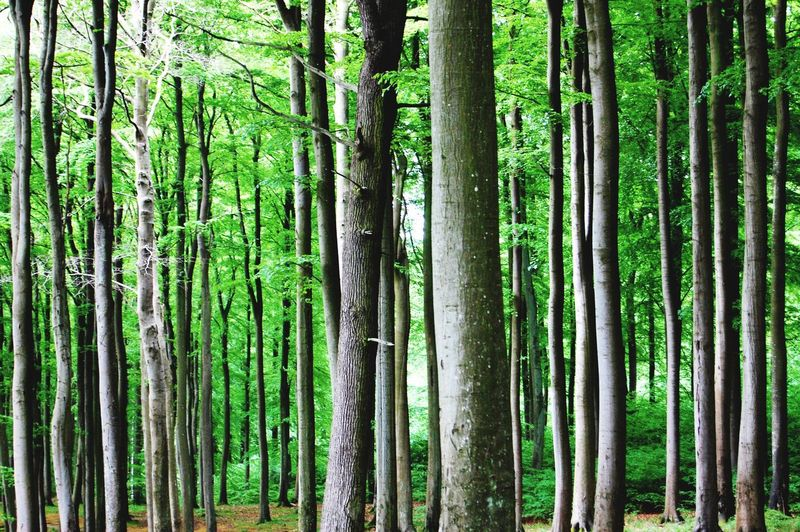 Strichcode. Nature Rügen Green Color Barcode Forest Beauty In Nature Tree No People Day Outdoors Graphic Tranquil Scene Beautiful Architecture_collection Summer Baltic Sea Booking Forest Beech Wood Alone Time Light And Shadow Close-up Detail The Great Outdoors - 2017 EyeEm Awards Perspectives On Nature