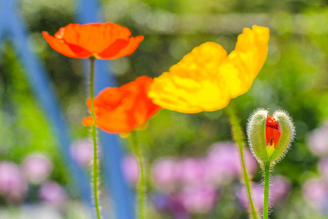 Colorful Poppy flowers Beauty In Nature Blooming Botany Colorful Flowers Flower Flower Head Growth In Bloom Nature No People Petal Poppies  Poppies Blooming