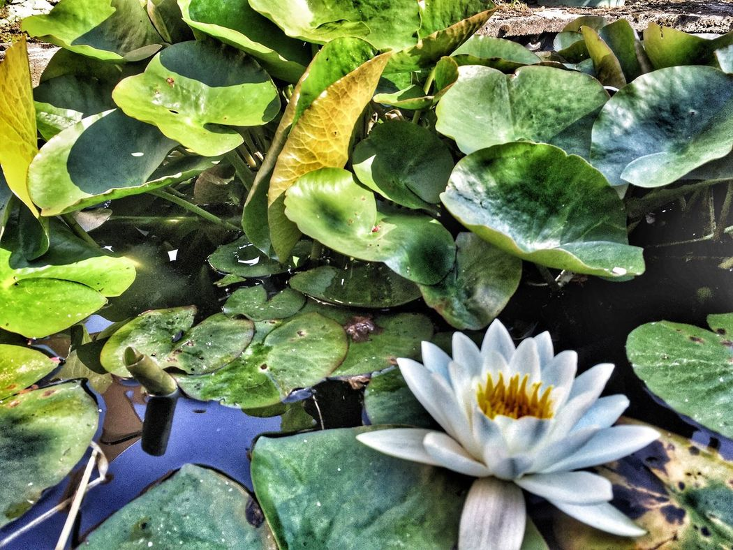 Lily pond Leaf Growth Pond Nature Water Lily Beauty In Nature Plant Water Flower Floating On Water Green Color Petal Freshness Day Lily Pad Flower Head No People Fragility Outdoors Lotus Water Lily