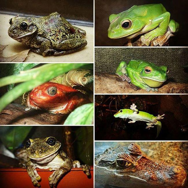 Frogs Greenfrog Redfrogs Aligator kyivzoo kyiv ukraine terarium favoriteanimal