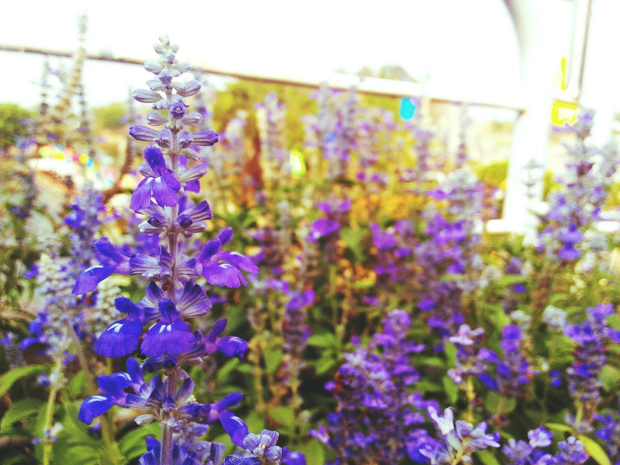 Somewhere in earth Lanveder Vscocam Zenfone2laser Flower Vscoflower Flower Collection