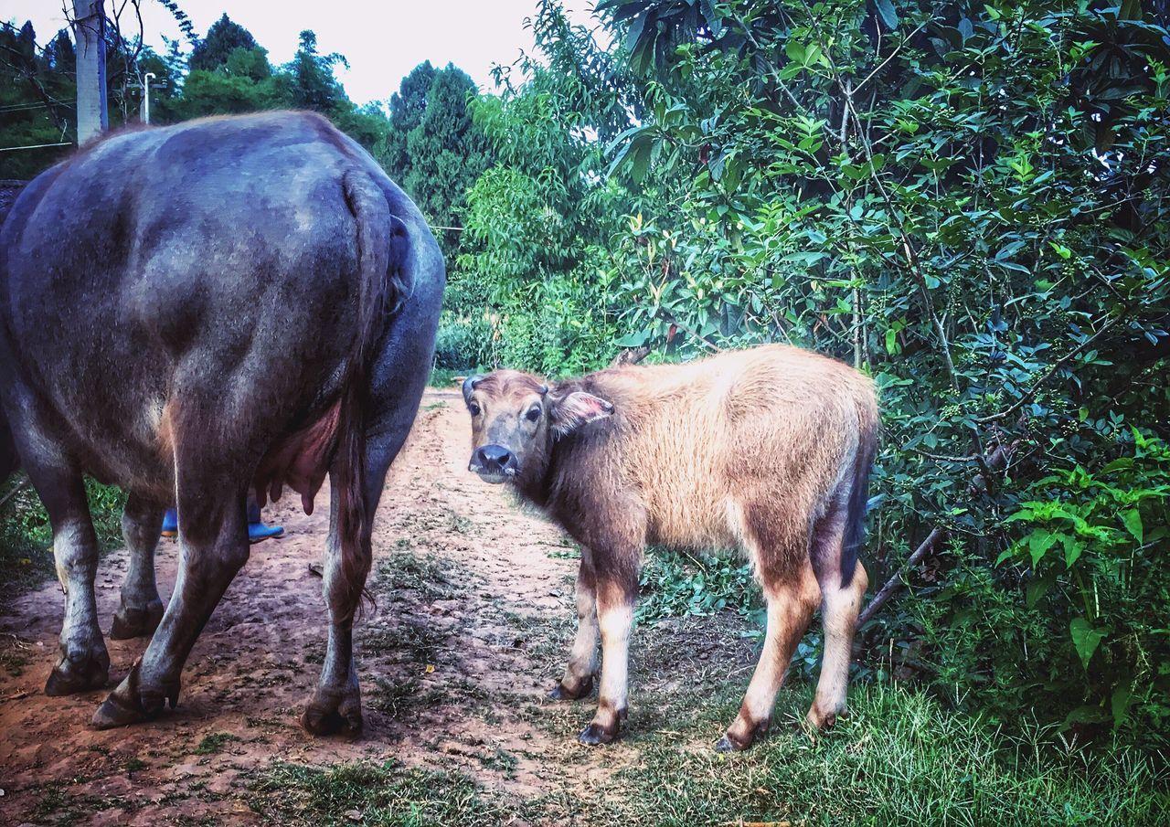 小水牛……