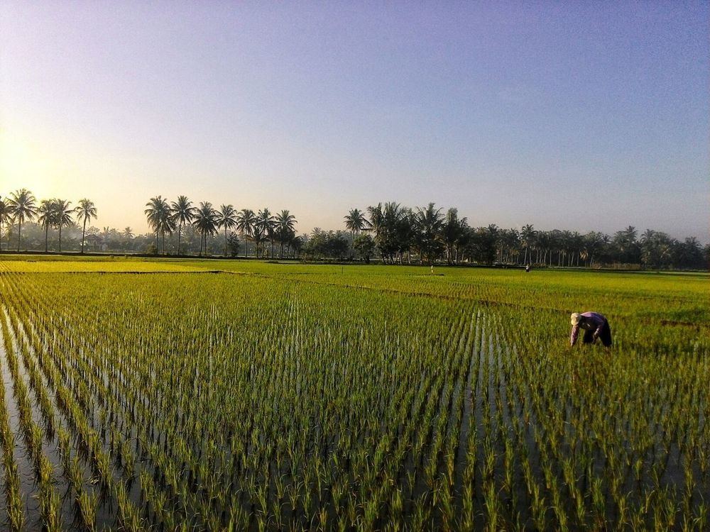 everything about indonesian food have a good taste, and rice is the other one, thanks to farmer Jogja DIY Indonesian Sunrise Peace Ied Mubarak Pulkam