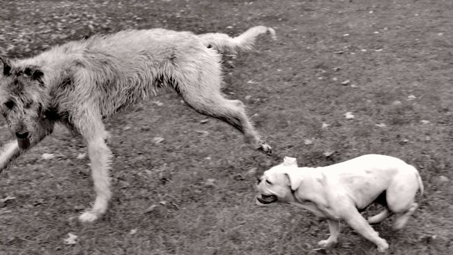 Blackandwhite Photography Animal Themes Domestic Animals Dog Outdoors Autumn🍁🍁🍁 Showcase September Autumn 2016 September 2016 The Places I've Been Today Dogs Of Autumn Autumn Is Here...Fall Mood! Irish Wolfhound Cearnaigh Dogwalk Dogslife Dogs Of EyeEm Dog Of The Day Running Monochrome Dogplaying Playing With The Dogs Who Let The Dogs Out?