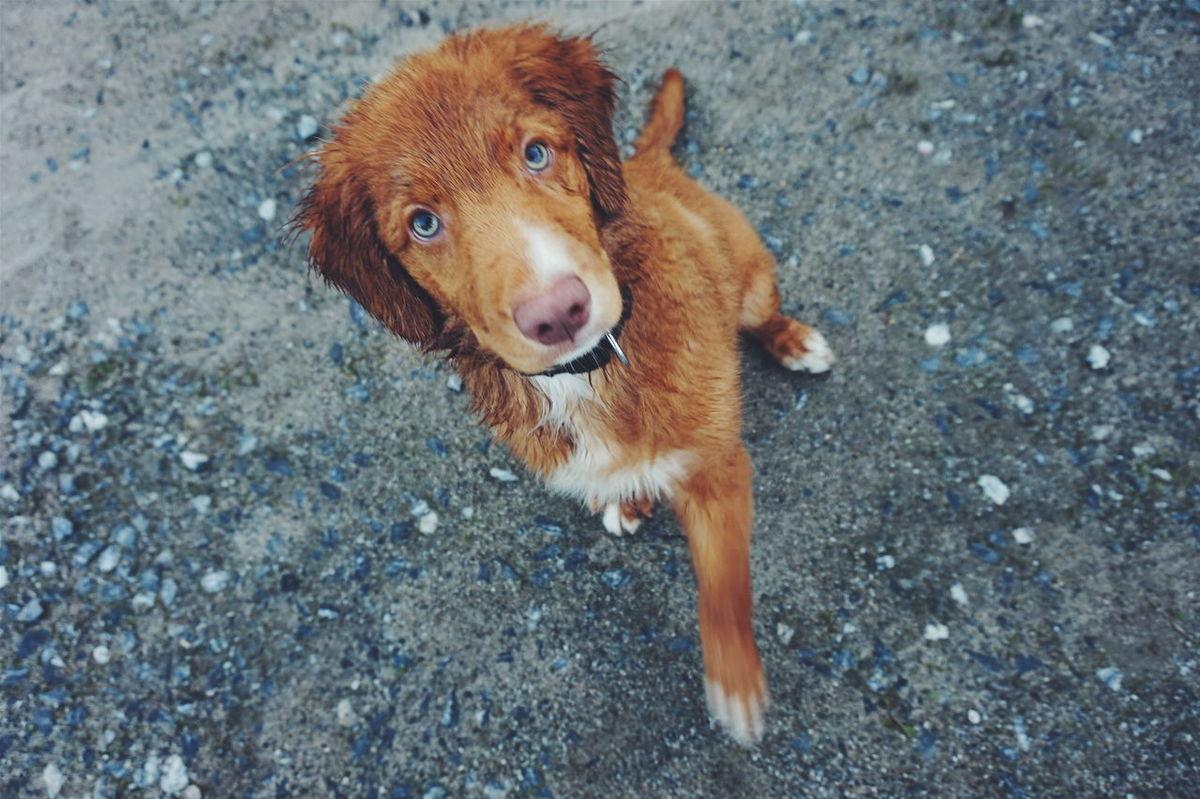 Pets Pet Dogs Dog Eyes Fur Furry Nova Scotia Duck Tolling Retriever Cute Cute Dog  Cute Pets