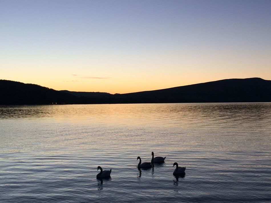 Sunset LochLomond Water Mountain Range Bird Silhouette Animals In The Wild Dusk Sky Waterbirds Swans Togetherness Naturelovers Outdoor Life Beauty In Nature Tranquil Scene No People