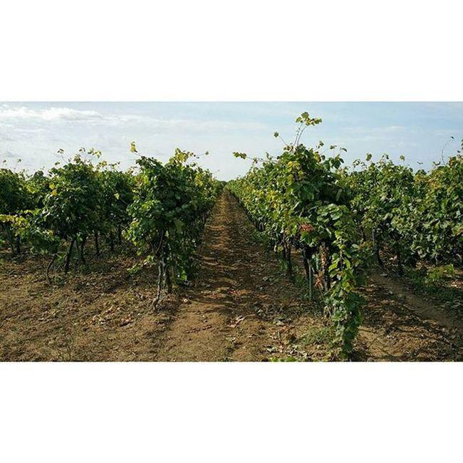 È da qui che nasce il vino Vigneto Uva Vendemmia Malvasia Campagna Salento Terra  Vino Wine Instaitalia Igersitalia Italy SouthofItaly Countryside Nature Grapes
