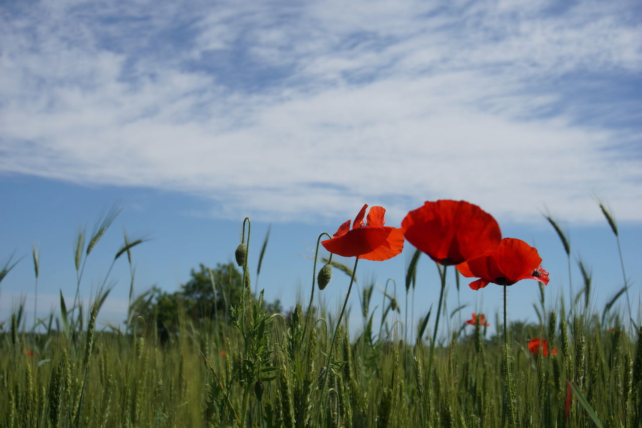 Almost summer. Sony A6000 Poppies  Field Crop Field No Edit/no Filter The Purist (no Edit, No Filter) Nature Outdoors From My Point Of View The Great Outdoors - 2016 EyeEm Awards Contre-jour Rural Scene Non-urban Scene Hello World Things I Like Abundance The Great Outdoors Without Adobe EyeEm Gallery EyeEm Best Shots EyeEm Nature Lover EyeEm Best Shots - Nature Popular Photos Getting Inspired The Week Of Eyeem Simple Things In Life