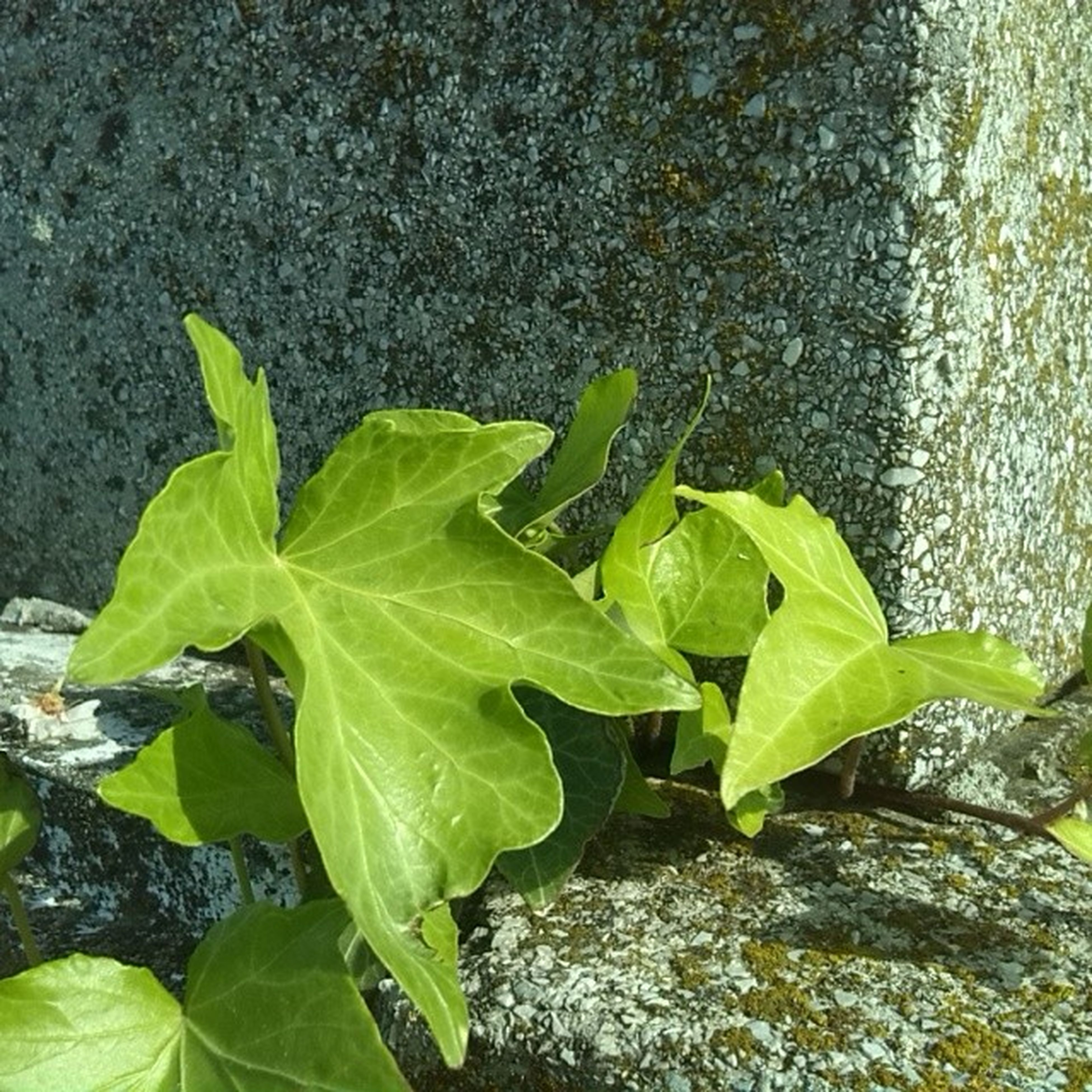 leaf, green color, high angle view, plant, growth, water, nature, close-up, day, outdoors, growing, wet, sunlight, leaves, rock - object, no people, beauty in nature, green, leaf vein, tranquility