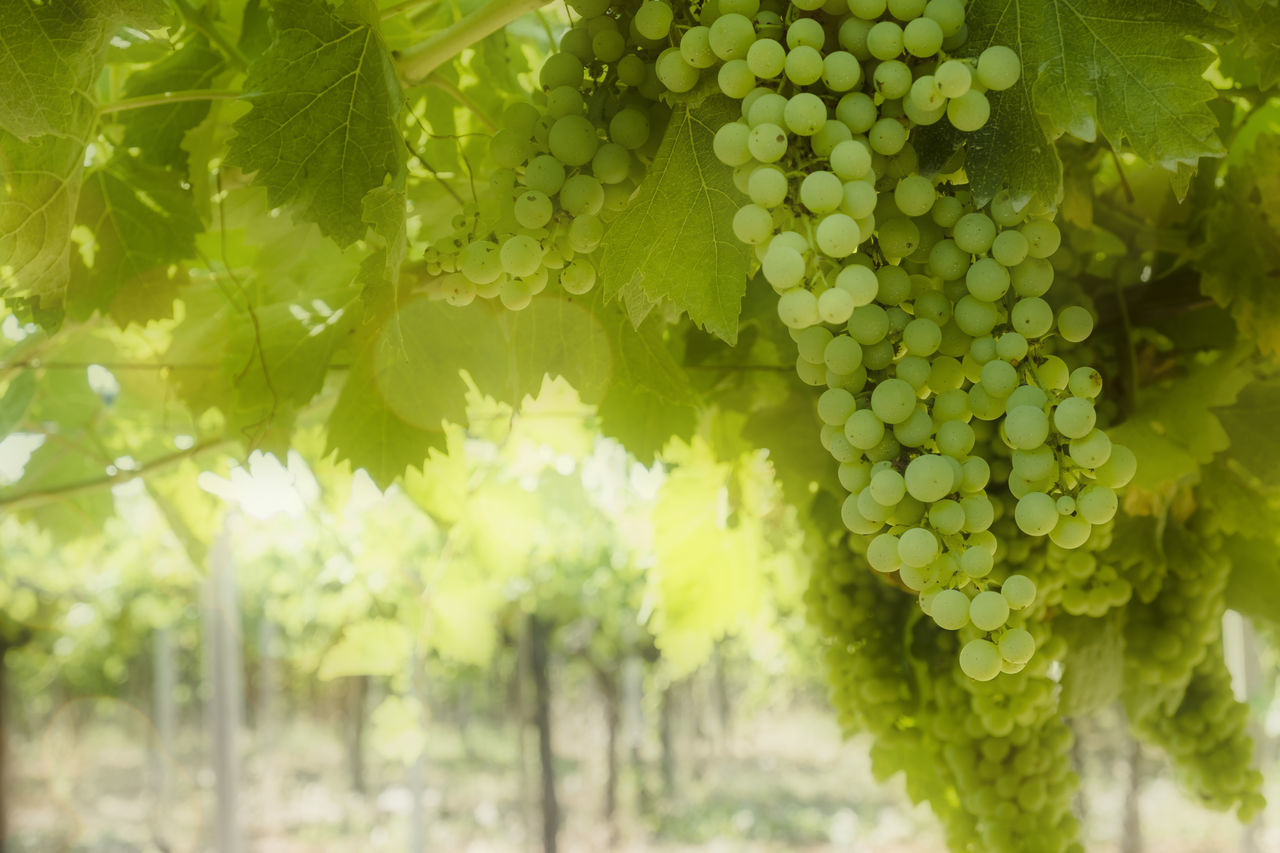 Agriculture Beauty In Nature Bunch Close-up Day Food Food And Drink Freshness Fruit Grape Green Color Growth Healthy Eating Leaf Nature No People Outdoors Plant Tree Vine - Plant Vineyard Wine Winemaking