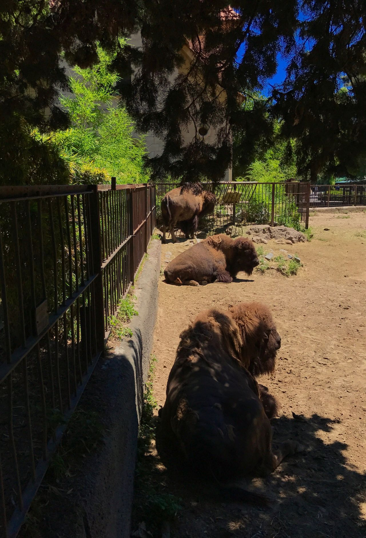 Bison Three Animals Pattern Tree Animal Themes Fence Mammal No People Nature Growth Outdoors Day Beauty In Nature Zoo Big Animal Trees Plants