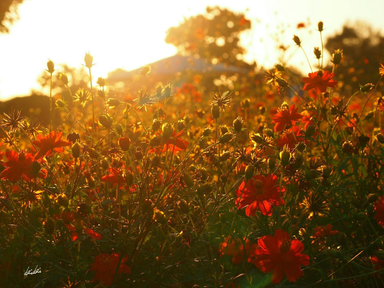 flower, growth, nature, plant, petal, beauty in nature, field, blooming, summer, freshness, meadow, poppy, red, no people, sunlight, flower head, fragility, outdoors, grass, day, close-up, sky