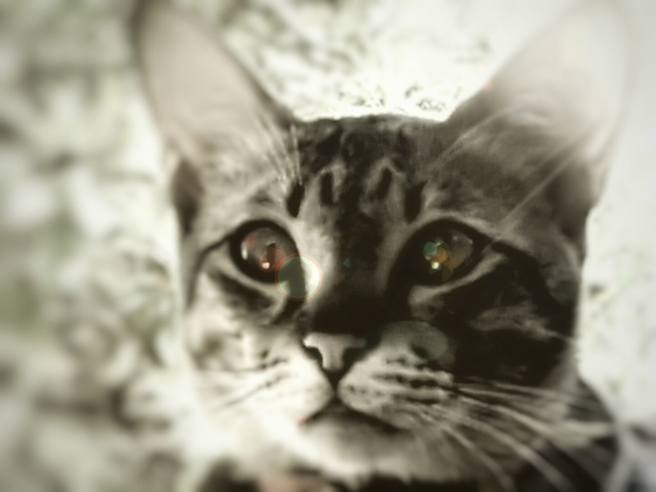 domestic cat, feline, pets, domestic animals, looking at camera, cat, mammal, animal themes, portrait, one animal, whisker, indoors, close-up, no people, day