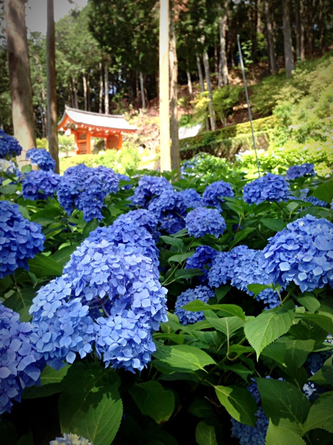 Kyoto Japan Temple Mimurotoji Uji Hydrangea Today Flower 京都 日本 寺 三室戸寺 宇治 紫陽花 今日