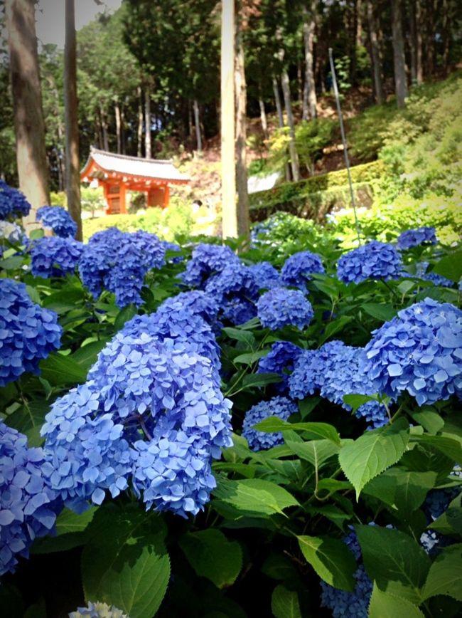 Kyoto Japan Temple Mimurotoji Uji Hydrangea Today Flower 京都 日本 寺 三室戸寺 宇治 紫陽花 今日