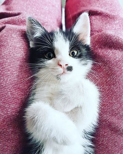Say hello to my new baby :) isnt he beautiful? He loves fotoshooting heheheh Domestic Cat Pets One Animal Close-up Photooftheday Like4like Enyoing Life GalaxyS7Edge Animal Looking At Camera Catoftheday Cat Photography Cats 🐱 Caturday Cat Watching Catlover Catslover