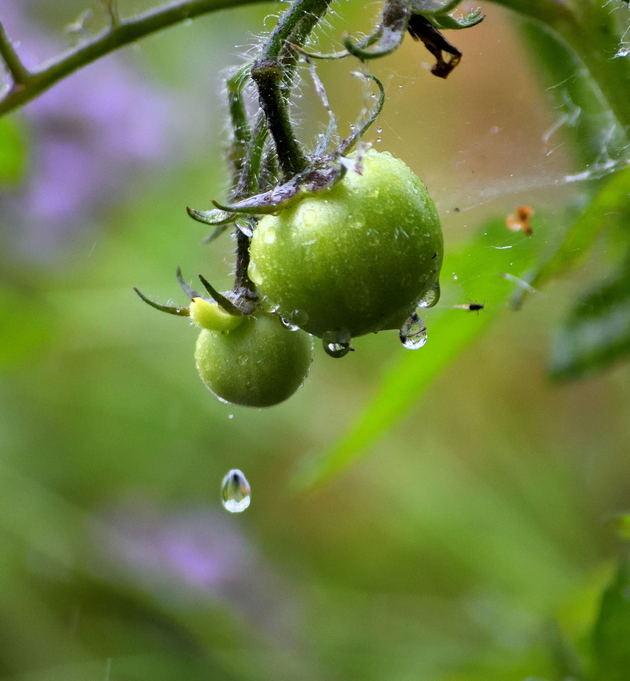 Beauty In Nature Close Up Cobweb Drop Falling Drops Focus On Foreground Food And Drink Freshness Fruit Green Color Green Tomatoes Growth Hanging Healthy Eating Nature Outdoors Rain Rainy Days Split Second Tomatoes Water Wet