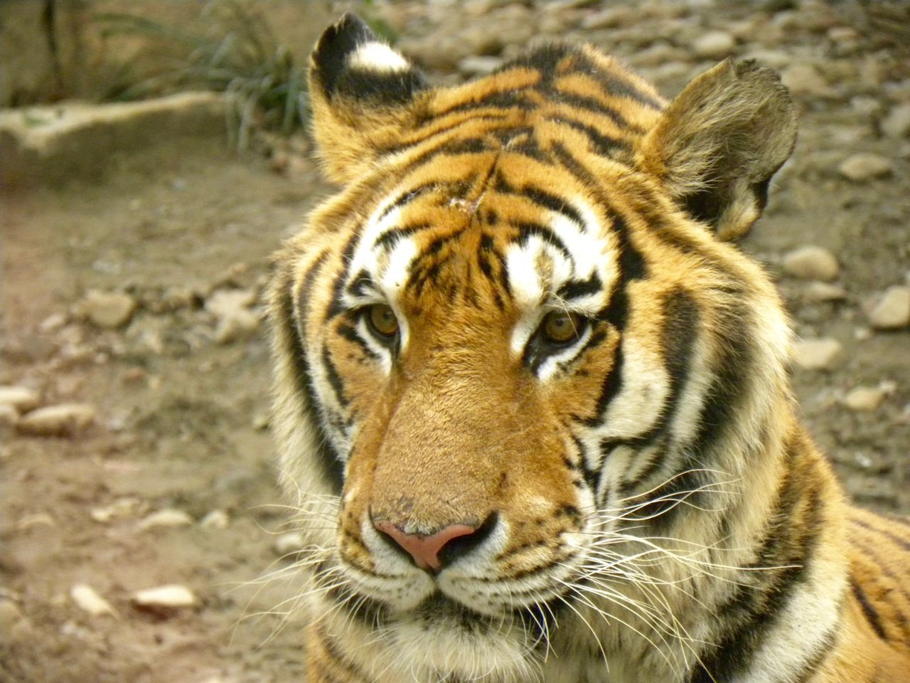Animal Themes Animal Wildlife Animals In The Wild Beijing Beijing China Beijing Scenes Beijing Zoo BEIJING 北京 Beijing, China BEIJING北京CHINA中国BEAUTY China China Photos Close-up Day Focus On Foreground Looking At Camera Mammal Nature No People One Animal Outdoors Portrait Tiger