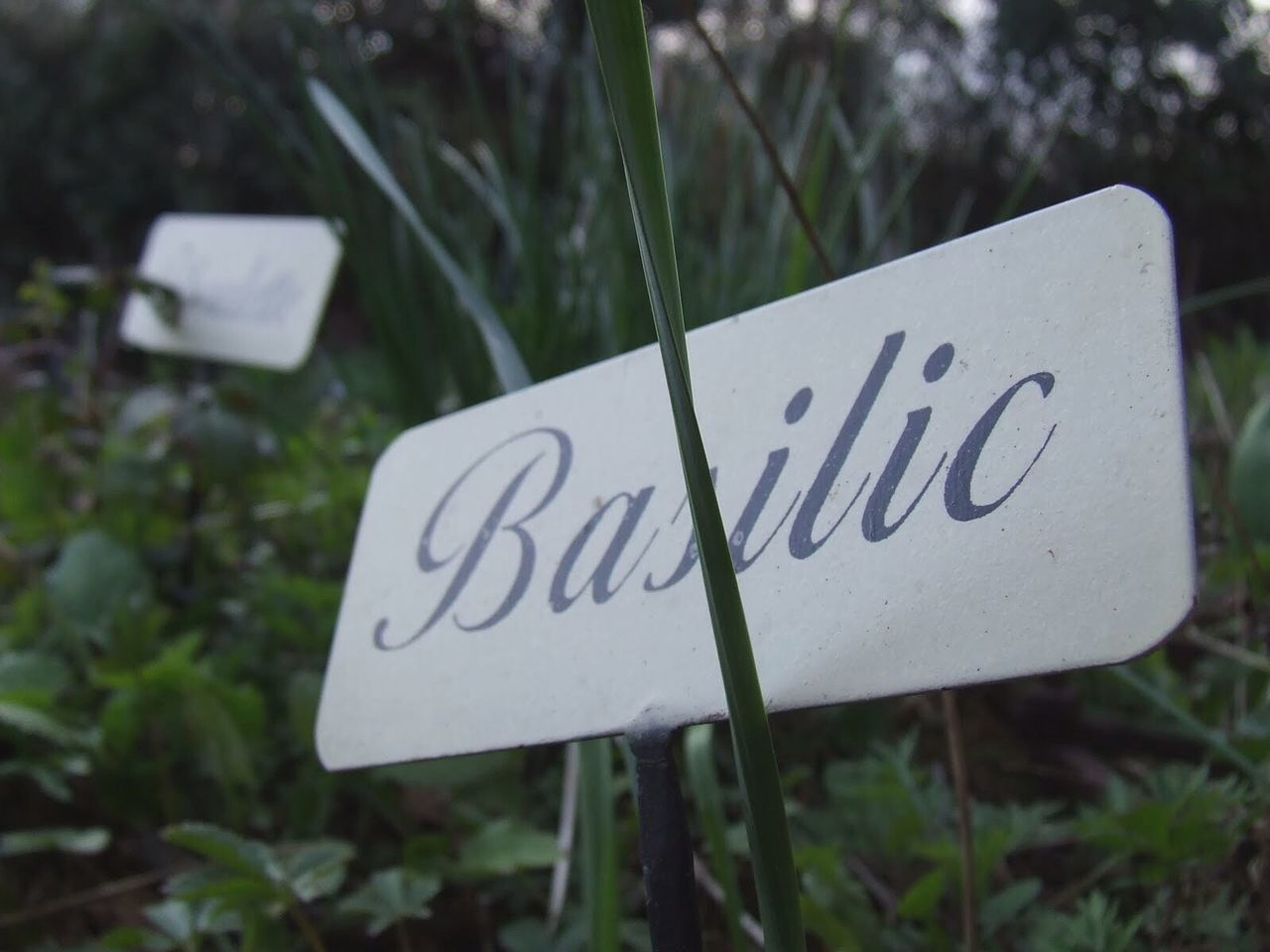Basilica Basilic Fresh Produce Spices Grass Garden Plant Ingredients Cooking