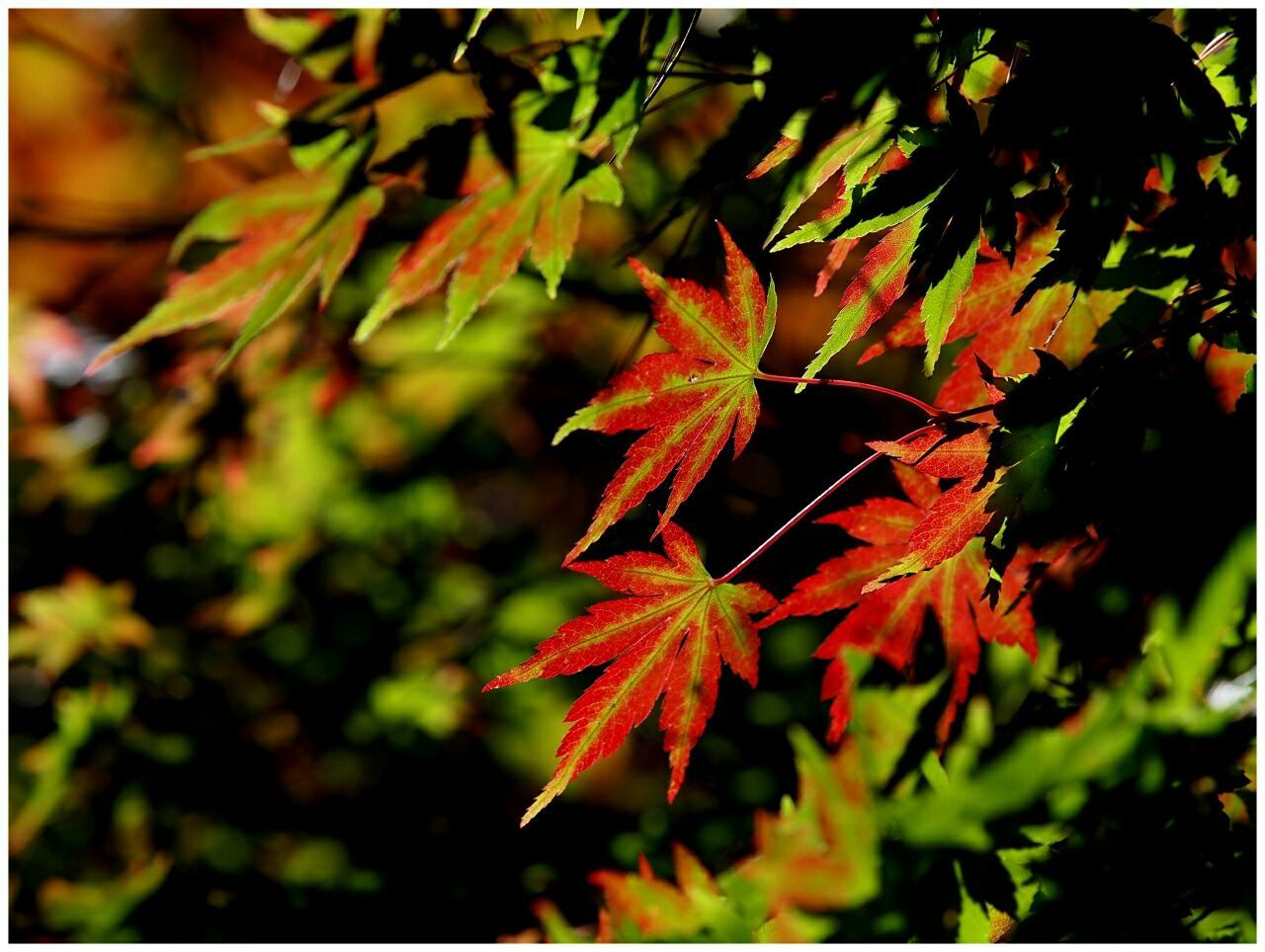 Olympus E5 Taking Photos Maple Leaf 福壽山農場